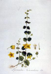 Ботанический рисунок вербейника монетчатого