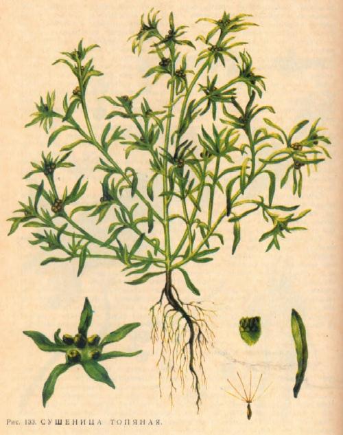 Сушеница топяная - болотная