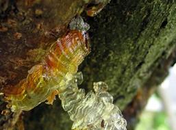 Мазь с еловой смолой от варикозного расширения