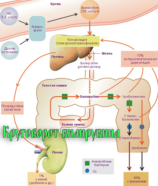 Круговорот билирубина в организме