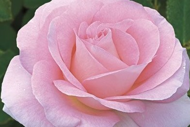 Ароматическое масло из розы