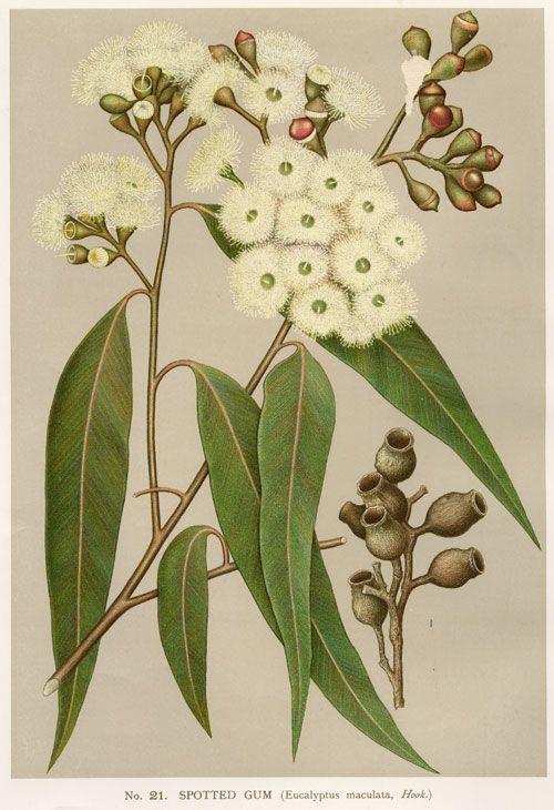 Цветы, плоды и листья эвкалипта