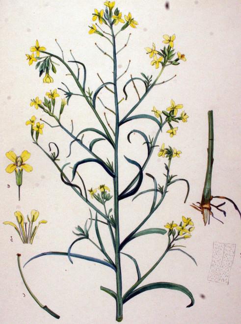 Желтушник раскидистый серый
