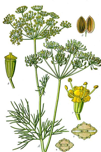 Внешний вид укропа - семена, листья, соцветия