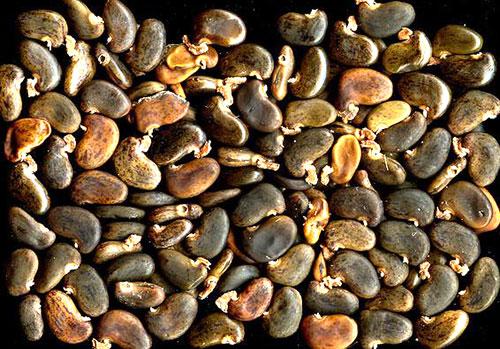 Семена акации - бобы