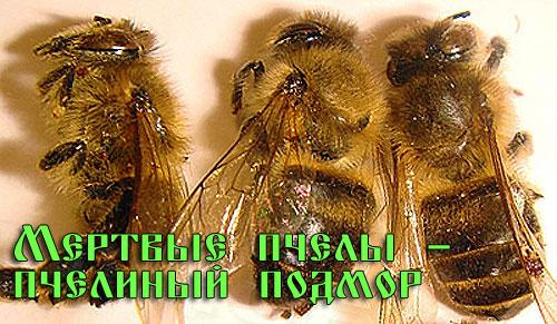 Пчелиный подмор 1