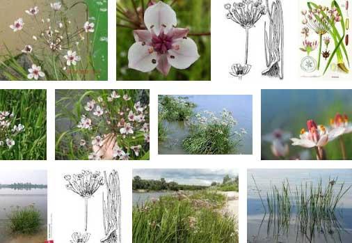Целебное растение сусак зонтичный