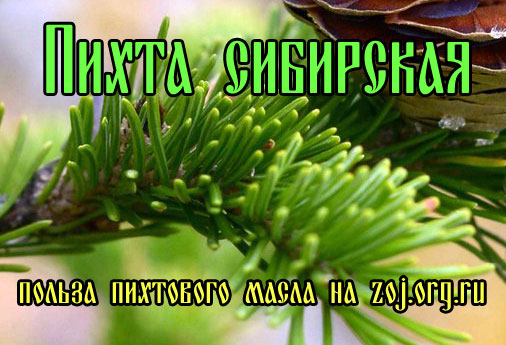 Пихта сибирская - полезные свойства