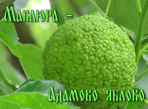 Маклюра - адамово яблоко 2