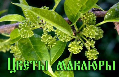 Цветы маклюры