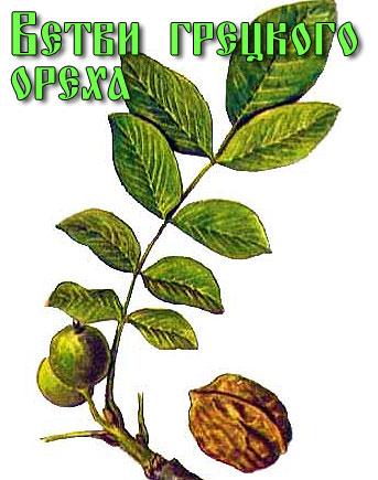 Ветви грецкого ореха