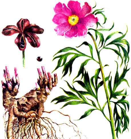Пион уклоняющийся - стебли, корневища, цветок и семена