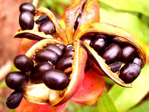 Семена пиона уклоняющегося