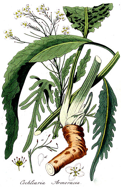 Ботаническая иллюстрация хрен обыкновенный