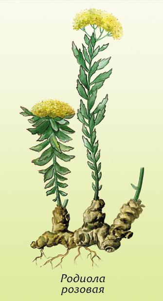 Родиола розовая - внешний вид растения